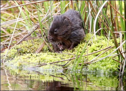 Close-up of water vole