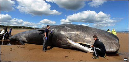 Sperm whale has been found stranded on a beach in Teeside.