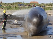 Rescuers hosed the whale with water to try and keep it wet