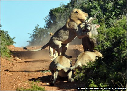 Antelope escapes lion pack!