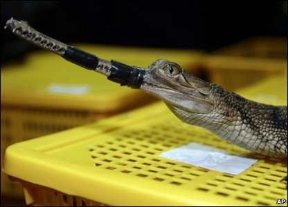 A gharial, an endangered type of crocodile