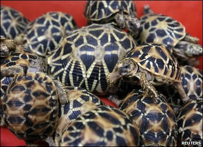 Indian star tortoises that were being smuggled