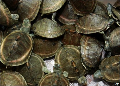 Turtles that were being smuggled