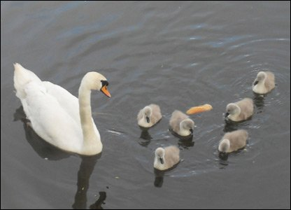 11 year old Sophie spotted these cygnets with their mum enjoying a dip in the river!