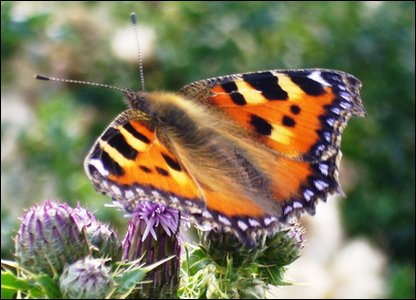 Small Tortoiseshell Butterfly Copyright: Natural History Museum