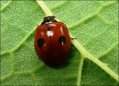 Two-spot Ladybird Copyright: Natural History Museum