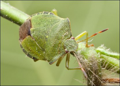 Green Shieldbug Copyright: Natural History Museum