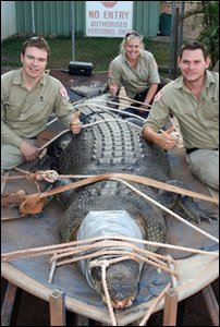 Crocodile caught