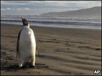 Emperor penguin from Antarctic on New Zealand beach