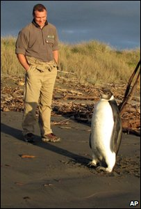 ranger Clint Purches watches an Emperor penguin as he walks along Peka Peka Beach in New Zealand