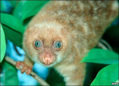 WWF: The blue-eyed spotted cuscus (Spilocuscus wilsoni)