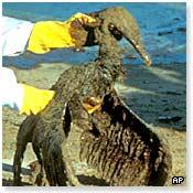 An oil covered bird after the 1991 Gulf War