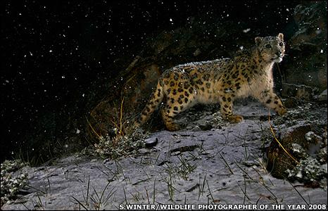 Λεοπάρδαλη  της Χιονοθύελλα ς