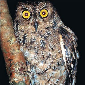 But the picture is not all bad  The Seychelles scops-owl   Scops    Threatened Animals List