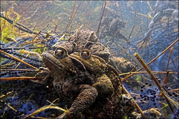 Parande grodor
