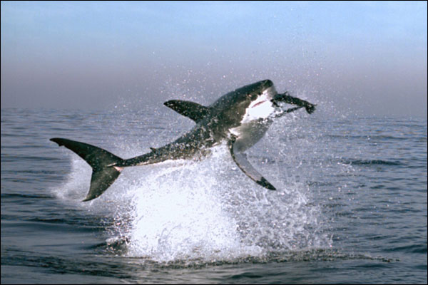 Shark Leaps for Fish