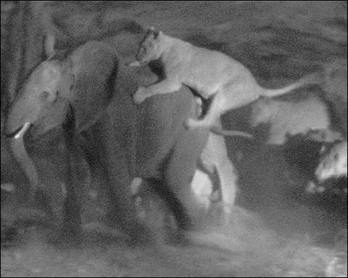 Night-vision cameras capture lions hunting elephants.