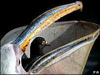 what diet do pelicans eat