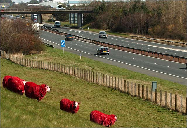 Red Sheep in Scotland