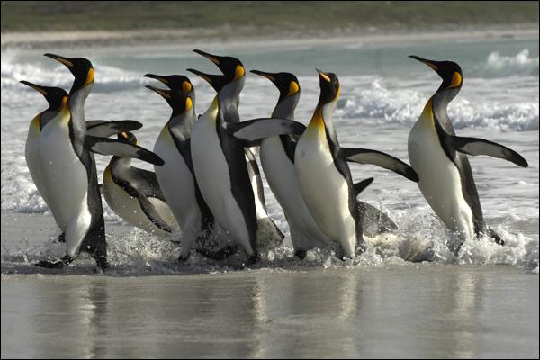 طائر البطريق 3