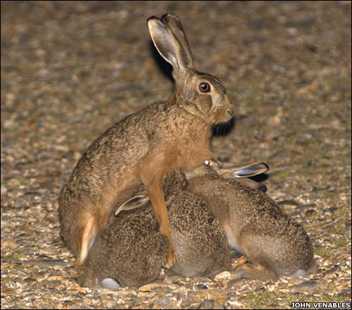 A very rare shot of a brown hare (Lepus europaeus) nursing its young, taken by John Venables. The mother leaves her leverets in the grass during the day, while she feeds. Then, just after dark, she returns and the young 'dock for fuel' as she sits upright to look for danger.