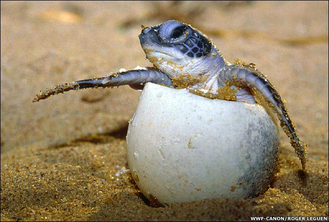 an Olive Ridley hatchling in French Guiana