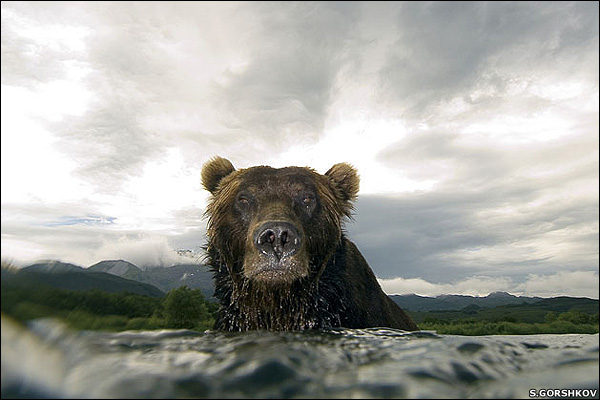 BBC News | In pictures: Shell Wildlife Photographer of the Year, Bear glare
