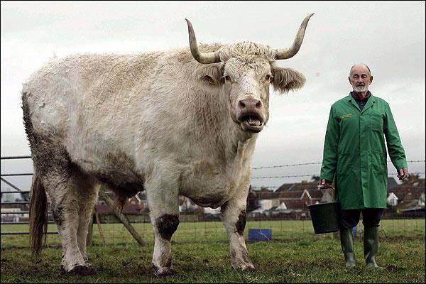 World S Largest Bull