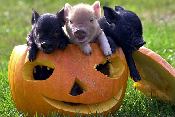 Miniature Pigs for Sale