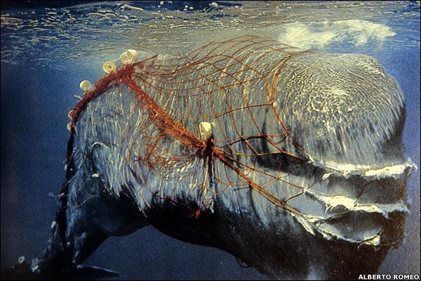 sonar whale dolphin porpoise military technology fishing net