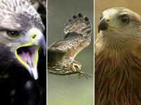 Golden Eagle, Hen Harrier and Red Kite
