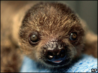A baby Linnaeus's Two-toed Sloth