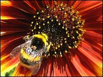 Bumblebee collects pollen on a sunflower