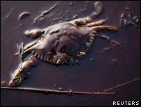 Crab in oil