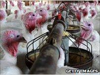 turkeys feeding