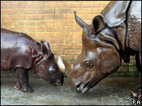 Baby rhino with its mum