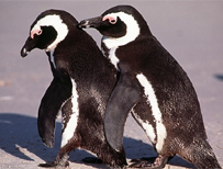 Black-footed penguins (SPL)