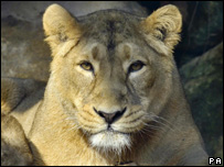 A female lion