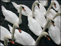 Group Of Swans Called 91