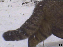 Wildcat tail