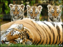 A Siberian tiger and her cubs