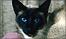 Jason the Siamese cat