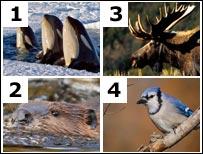 Orca, beaver, moose, blue jay