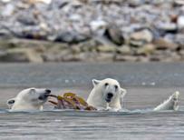 Polar bears eating seaweed