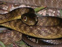 Brown tree snake (c) James Stanford