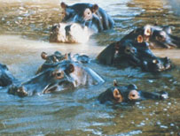 Hippos swimming in Africa (Archive shot - BBC)