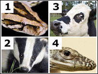 Snake, badger, cow, lizard