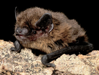 Common pipistrelle (c) Hugh Clark