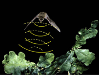 An illustration of an echo-locating bat (c) Hugh Clark