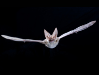 Grey long-eared bat (c) Anton Alberdi / Bat Conservation Trust